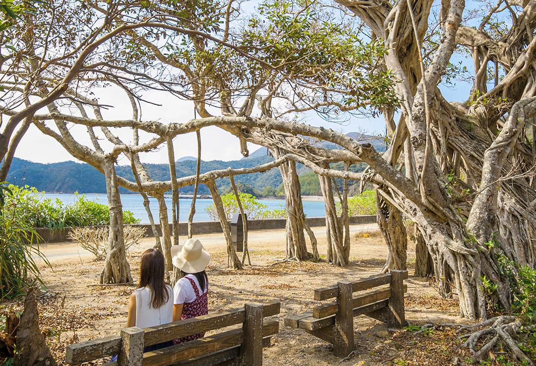 Osai Gajumaru Tree